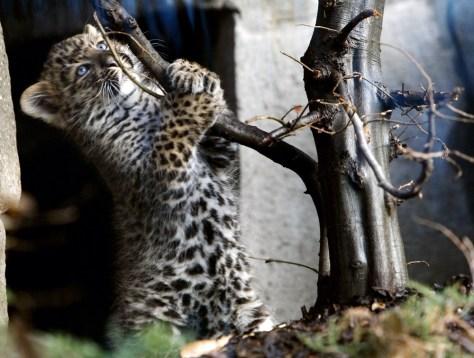 Image: Baby Leopard Wei