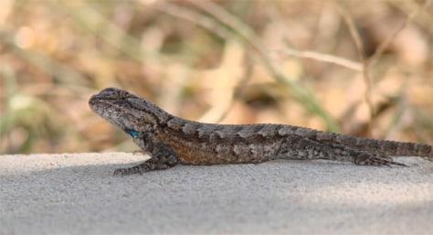 Image: A fence lizard