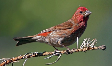 Image: Purple finch