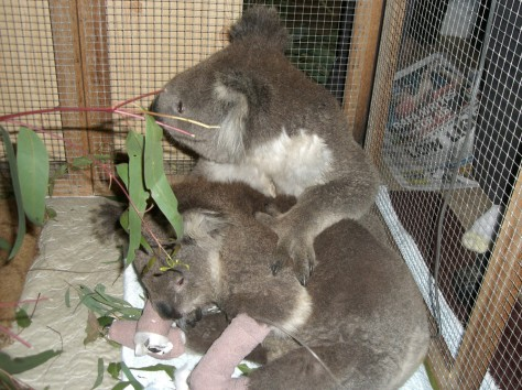 Image: Koalas Bob and Sam