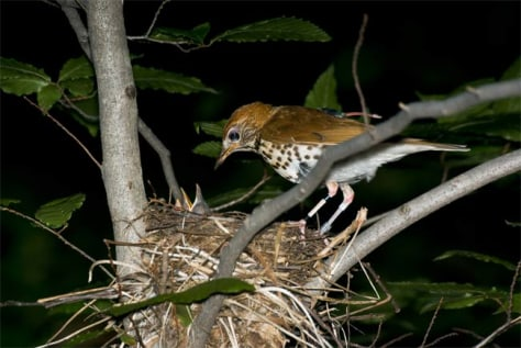 Image: Wood thrush