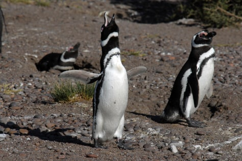Image: Magellanic penguins