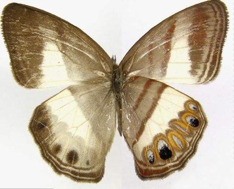 Image: Splendeuptychia ackeryi butterfly