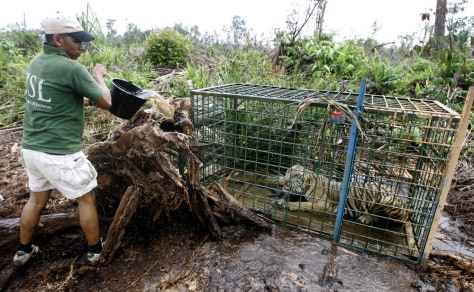 Image: An Indonesian park with a trapped tiger.