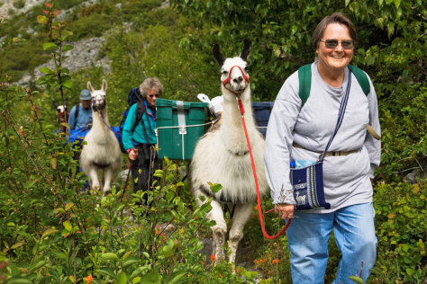 Image: Llamas on volunteer vacation