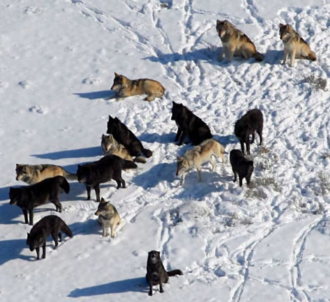 Image: Gray wolves at Yellowstone