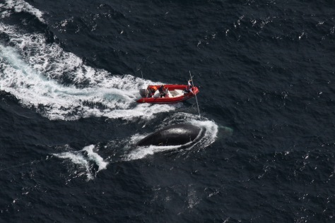 Image: Crews approach entangled whale