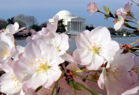 Image: Cherry blossoms frame the Jefferson Memorial