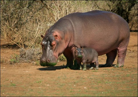 Image: Hippos in the sun