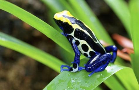 Image: Costa Rican cobalt poison dart frog