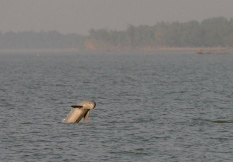 Image: Irrawaddy dolphin