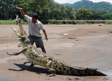 Image: Juan Carlos Buitrago feeds a piece of chicken to a male crocodile