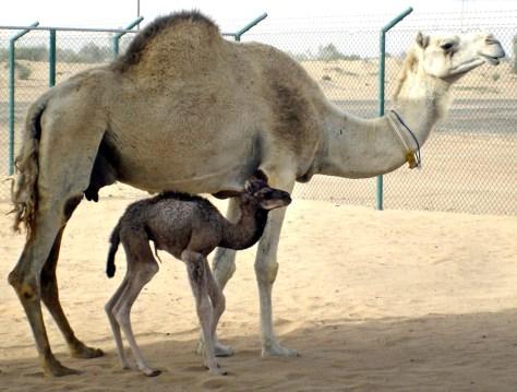 Image: Clone camel