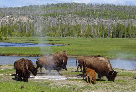 Image: Bison near a hot spring in Yellowstone