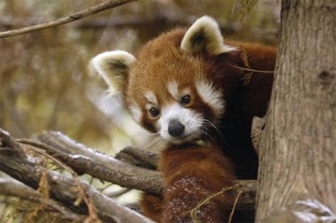 Image: Red panda