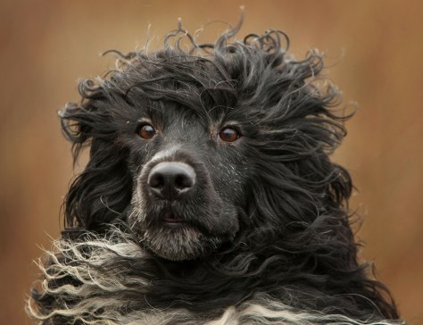 Image: Portugese Water Dog