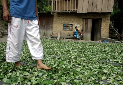 Image: A coca farmer walks on drying coca leaves