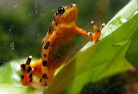 Image: A Panamanian Golden Frog