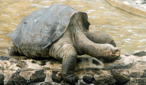 Image: The sole surviving giant Galapagos tortoise known as Lonesome George walks away from a pool on Santa Cruz island.