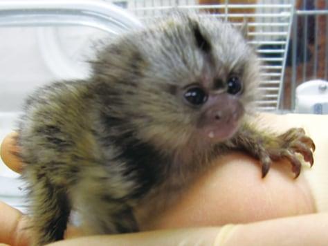 Image: Transgenic marmoset