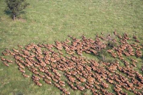 Image: Tiang herd