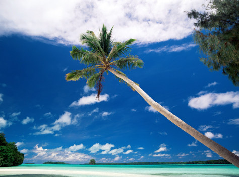 Image: Palm tree on Palau