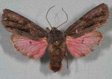 Image: Pink moth