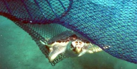 Image: Turtle escapes trawl net