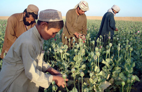 Image: Afghan poppy field workers