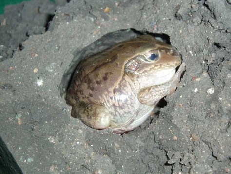Image: Burrowing frog