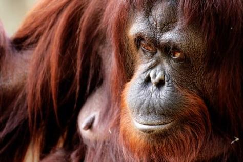 Image: Orangutan