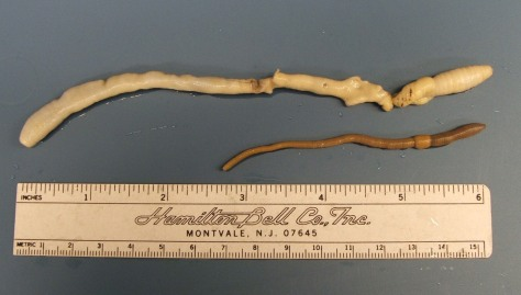 Image: Giant Palouse earthworm