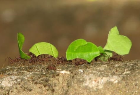 Image: Leaf cutter ants