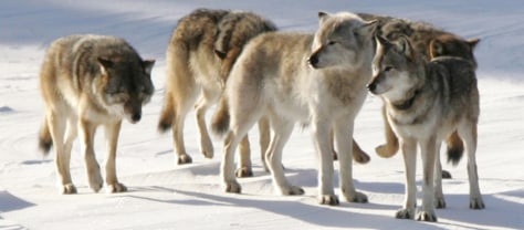 Image: A pack of gray wolves is shown on Isle Royale National Park in northern Michigan.