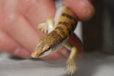 Image: Sandfish lizard