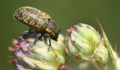 Image: Musk thistle head weevil
