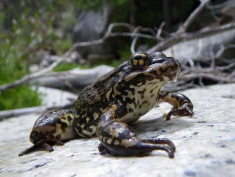 Image: Mountain yellow-legged frog