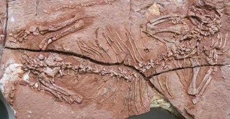 Image: Skeleton of tree-climbing synapsid Suminia getmanov