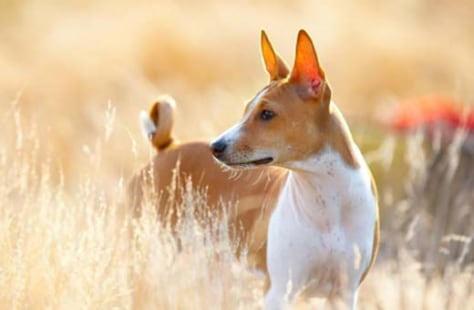 Dog Domestication Likely Started In N Africa