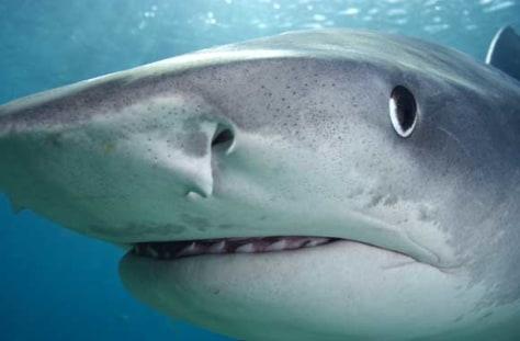 Image: Tiger shark