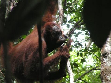 Image: Bornean orangutan