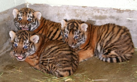 Image: three male Amur tiger cubs