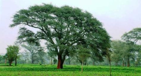 Image: Faidherbia trees