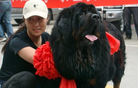 Image: four-million-yuan (600,000 USD) dog