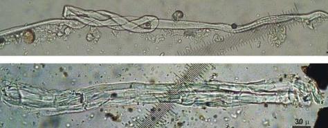 Image: Wild flax fibers