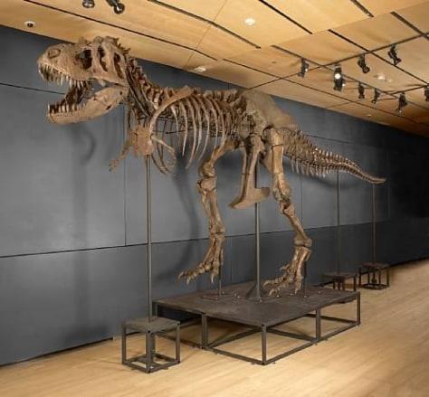 "Image: ""Samson,"" fossilized Tyrannosaurus rex"