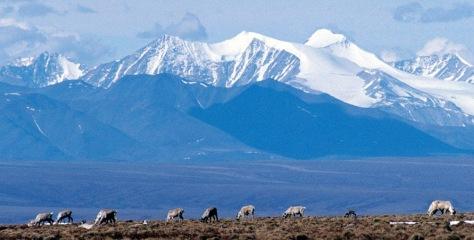 Image: Caribou graze