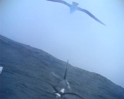 A killer whale breaks the ocean surface as four black-browed albatross.
