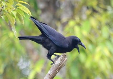 Image: Rare crow