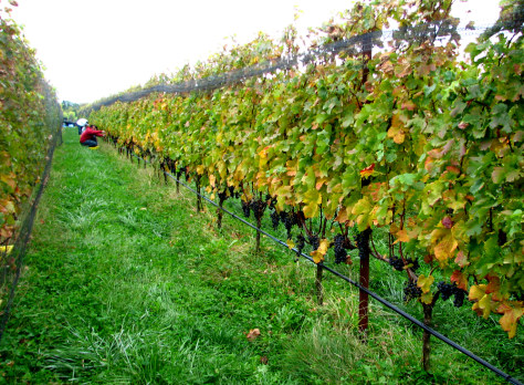 Image: Merlot grapes before harvest at Shinn Estate Vineyards.